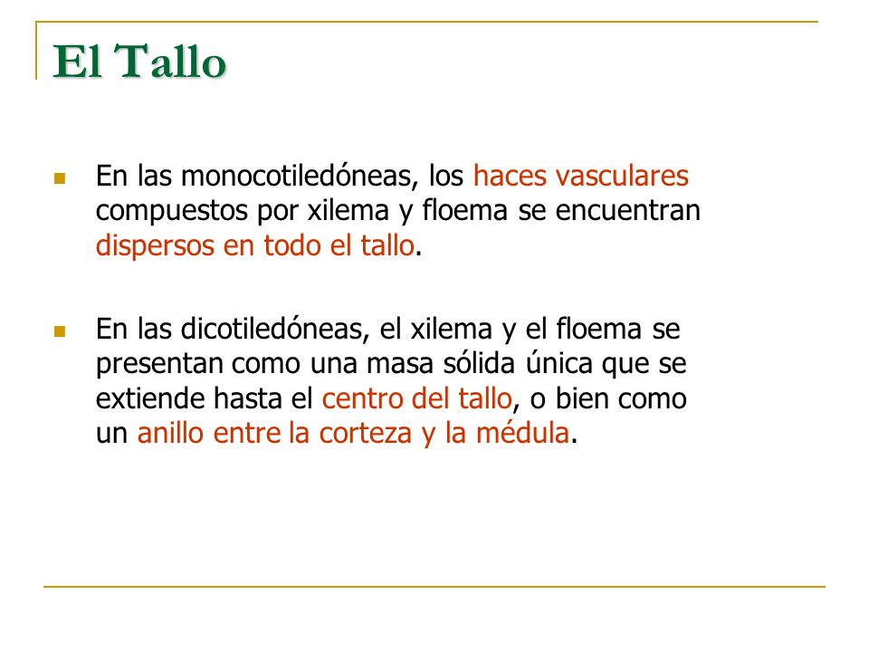 El Tallo En las monocotiledóneas, los haces vasculares compuestos por xilema y floema se encuentran dispersos en todo el tallo.