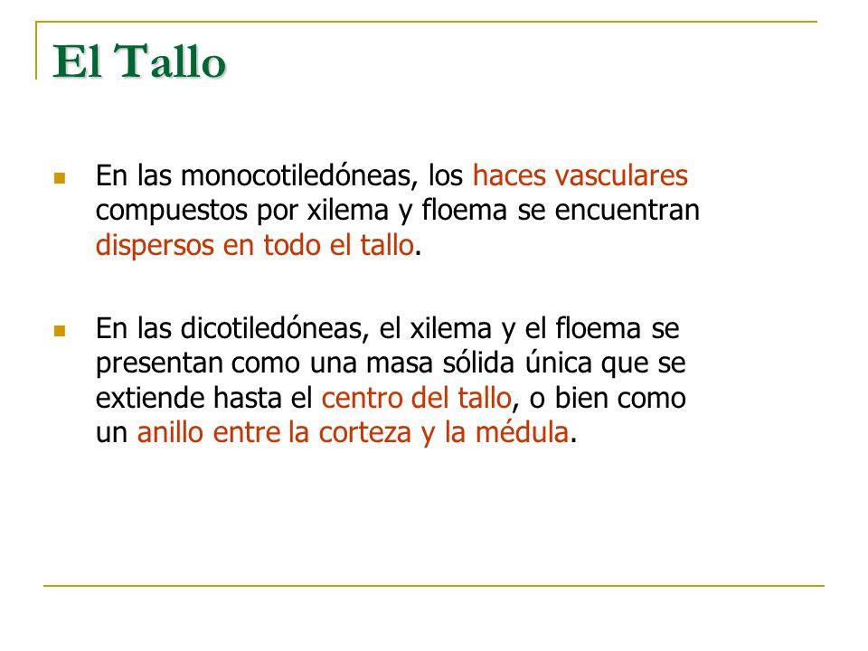 El TalloEn las monocotiledóneas, los haces vasculares compuestos por xilema y floema se encuentran dispersos en todo el tallo.