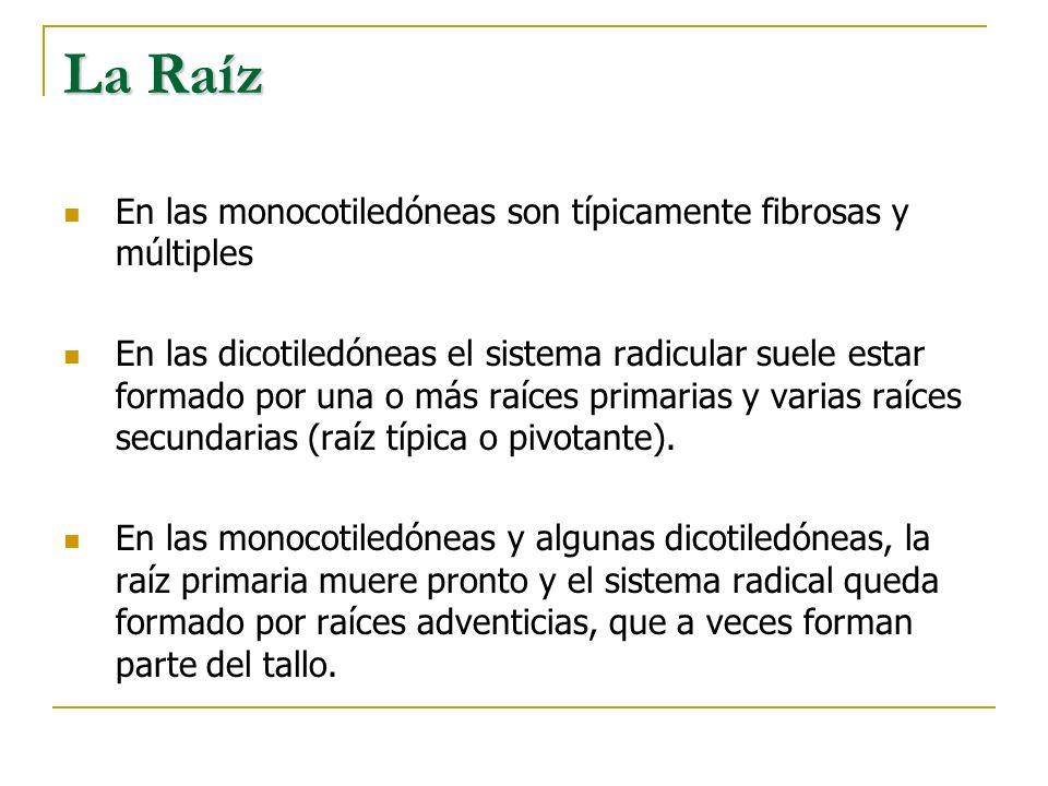 La Raíz En las monocotiledóneas son típicamente fibrosas y múltiples