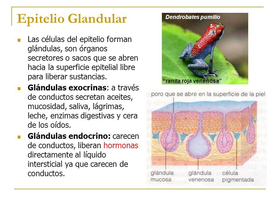 Epitelio Glandular Dendrobates pumilio. ranita roja venenosa