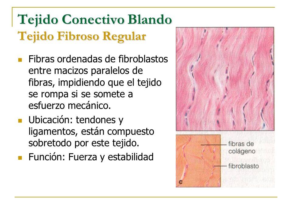 Tejido Conectivo Blando Tejido Fibroso Regular