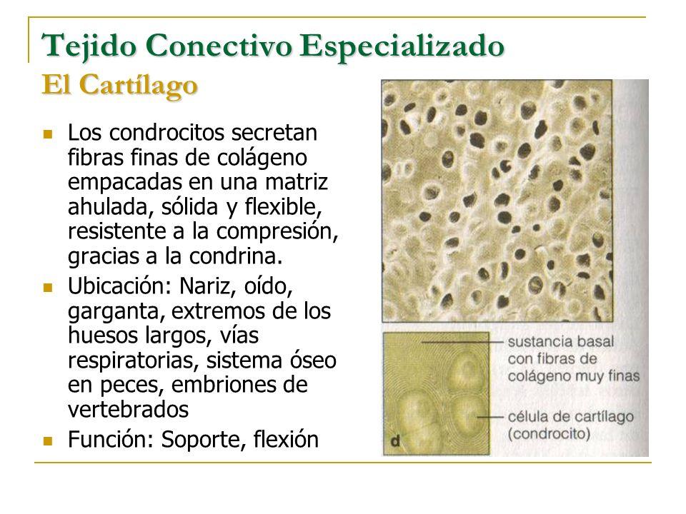 Tejido Conectivo Especializado El Cartílago