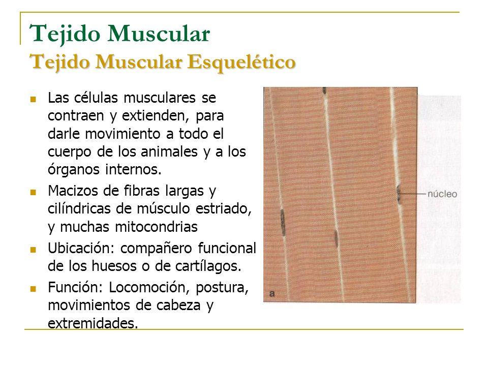 Tejido Muscular Tejido Muscular Esquelético