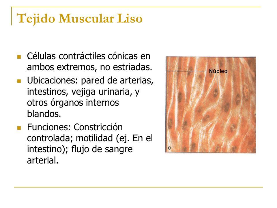 Tejido Muscular Liso Células contráctiles cónicas en ambos extremos, no estriadas.