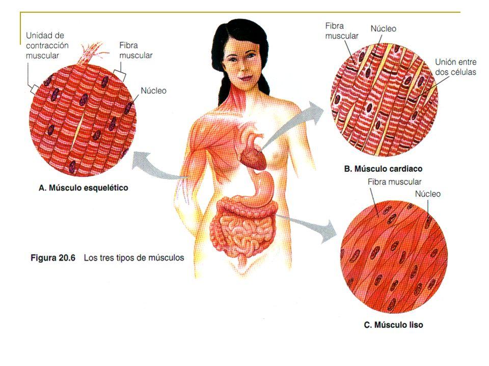 Tipos de Tejidos Muscular