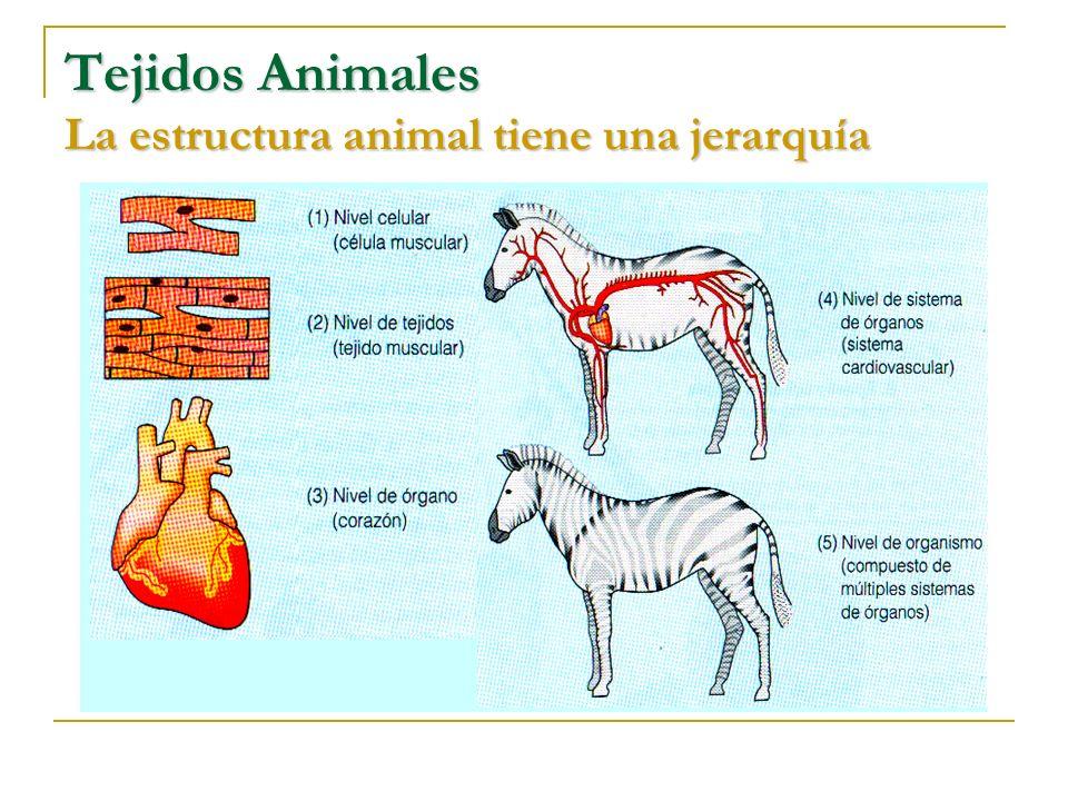 Tejidos Animales La estructura animal tiene una jerarquía