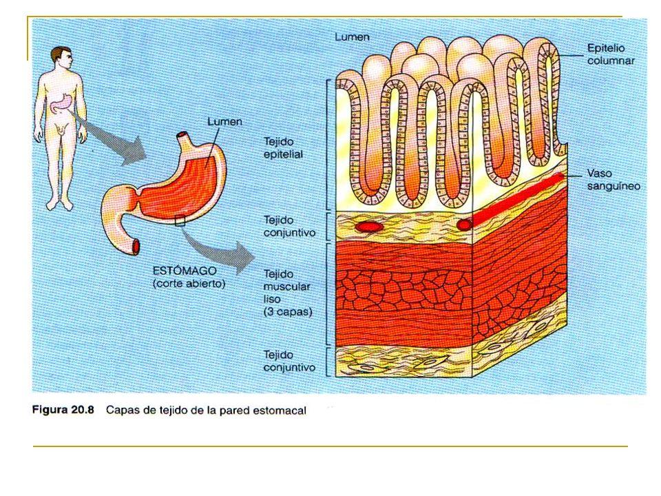 Los tejidos dispuestos en formas particulares forman órganos