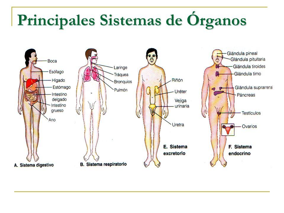 Principales Sistemas de Órganos
