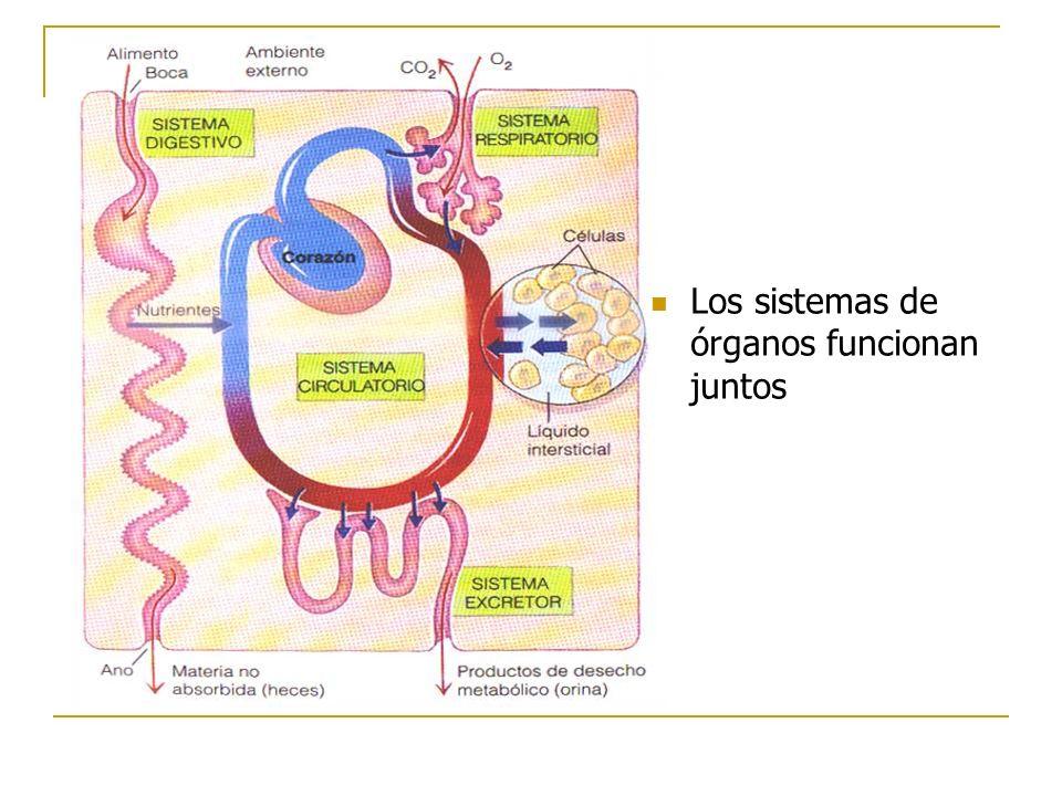 Los sistemas de órganos funcionan juntos