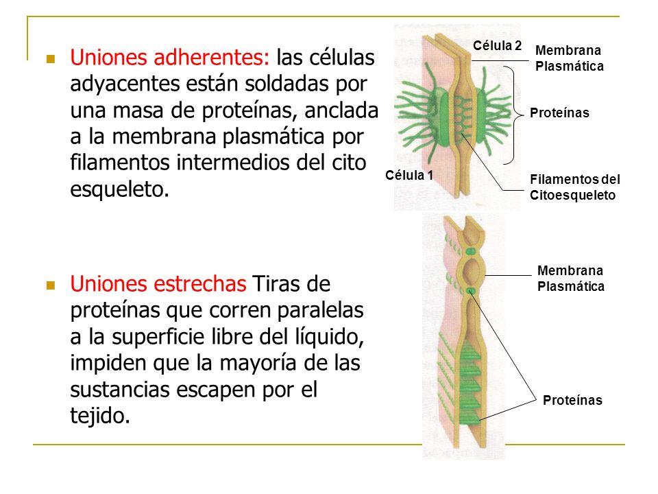 Proteínas Filamentos del Citoesqueleto. Membrana Plasmática. Célula 2. Célula 1.