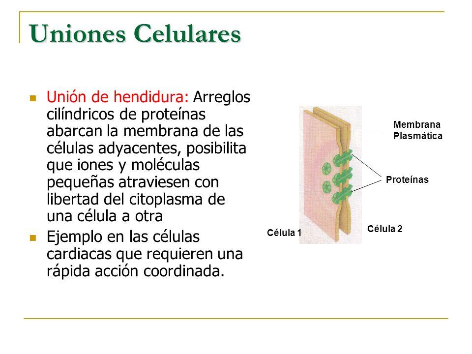 Uniones Celulares
