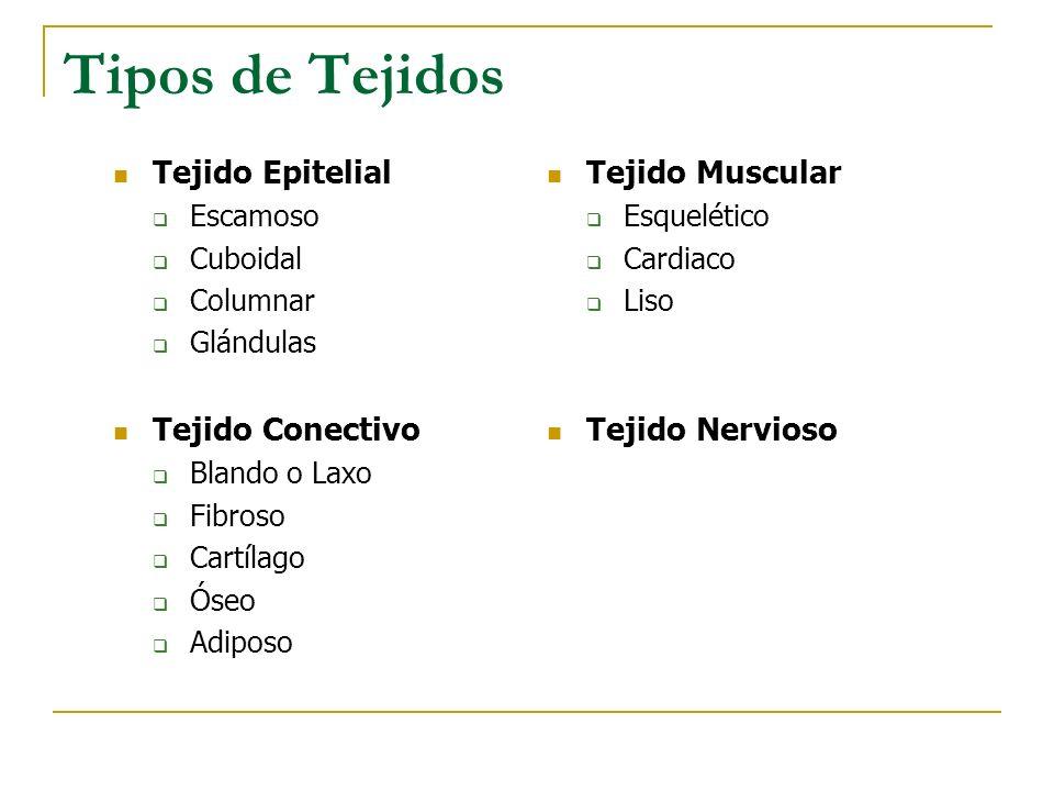 Tipos de Tejidos Tejido Epitelial Tejido Conectivo Tejido Muscular
