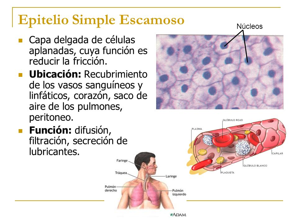 Epitelio Simple Escamoso