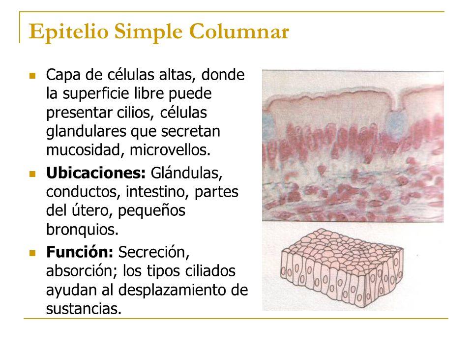 Epitelio Simple Columnar