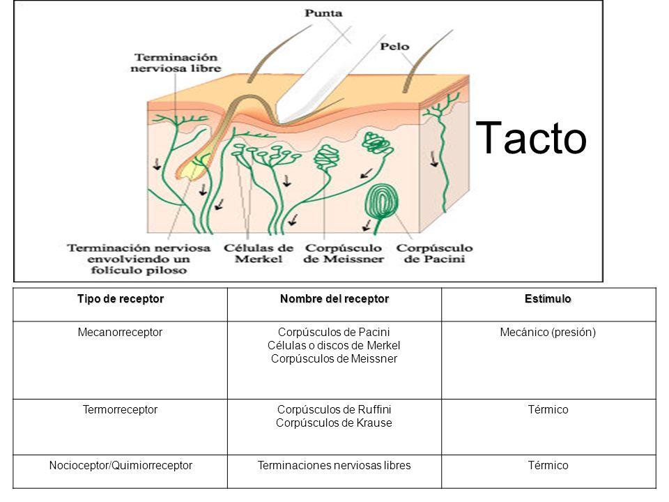 Tacto Tipo de receptor Nombre del receptor Estímulo Mecanorreceptor