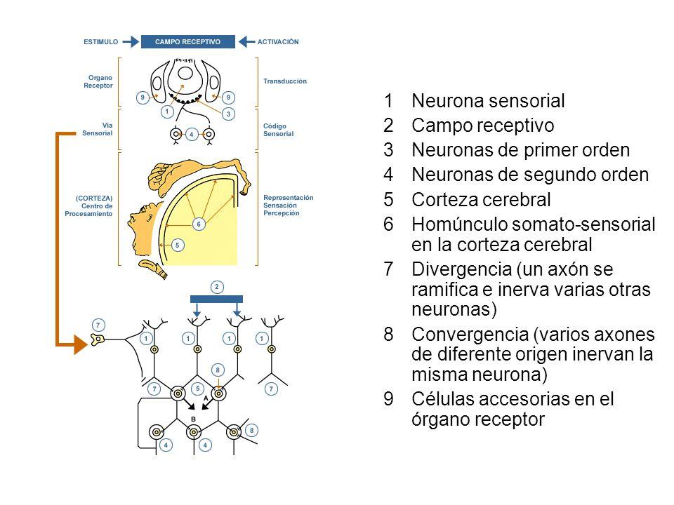 Neurona sensorial Campo receptivo. Neuronas de primer orden. Neuronas de segundo orden. Corteza cerebral.