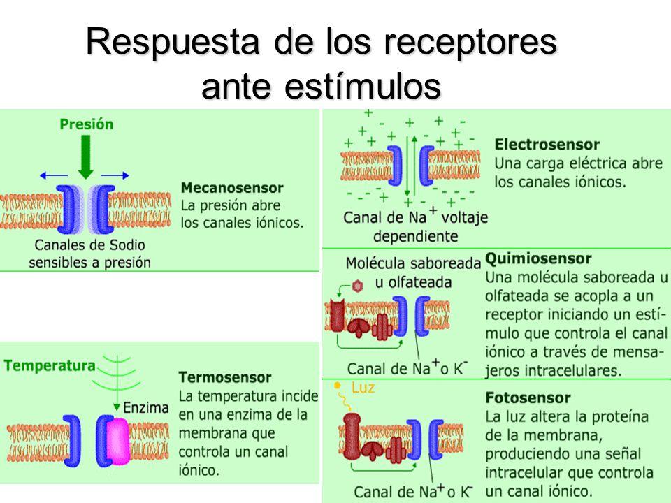 Respuesta de los receptores ante estímulos