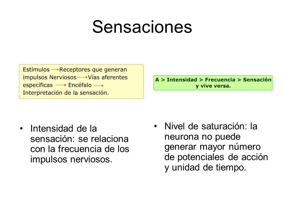 Sensaciones Nivel de saturación: la neurona no puede generar mayor número de potenciales de acción y unidad de tiempo.