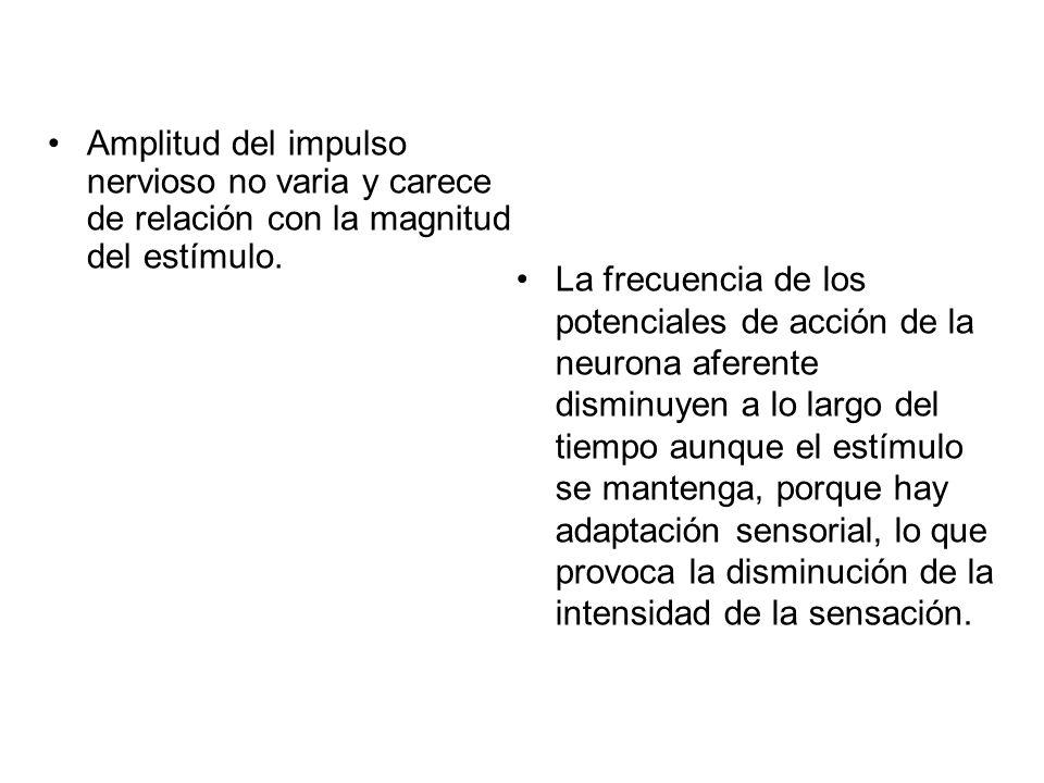 Amplitud del impulso nervioso no varia y carece de relación con la magnitud del estímulo.
