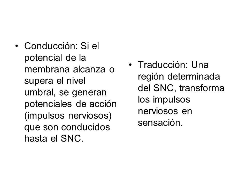Conducción: Si el potencial de la membrana alcanza o supera el nivel umbral, se generan potenciales de acción (impulsos nerviosos) que son conducidos hasta el SNC.
