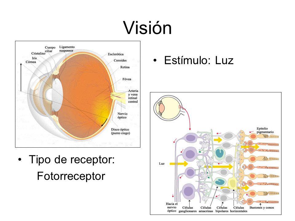 Visión Tipo de receptor: Fotorreceptor Estímulo: Luz