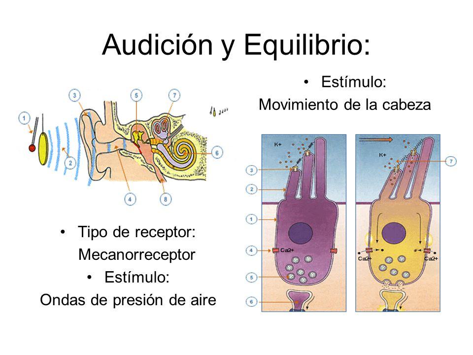 Audición y Equilibrio: