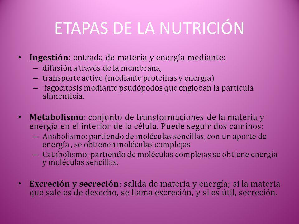 ETAPAS DE LA NUTRICIÓN Ingestión: entrada de materia y energía mediante: difusión a través de la membrana,