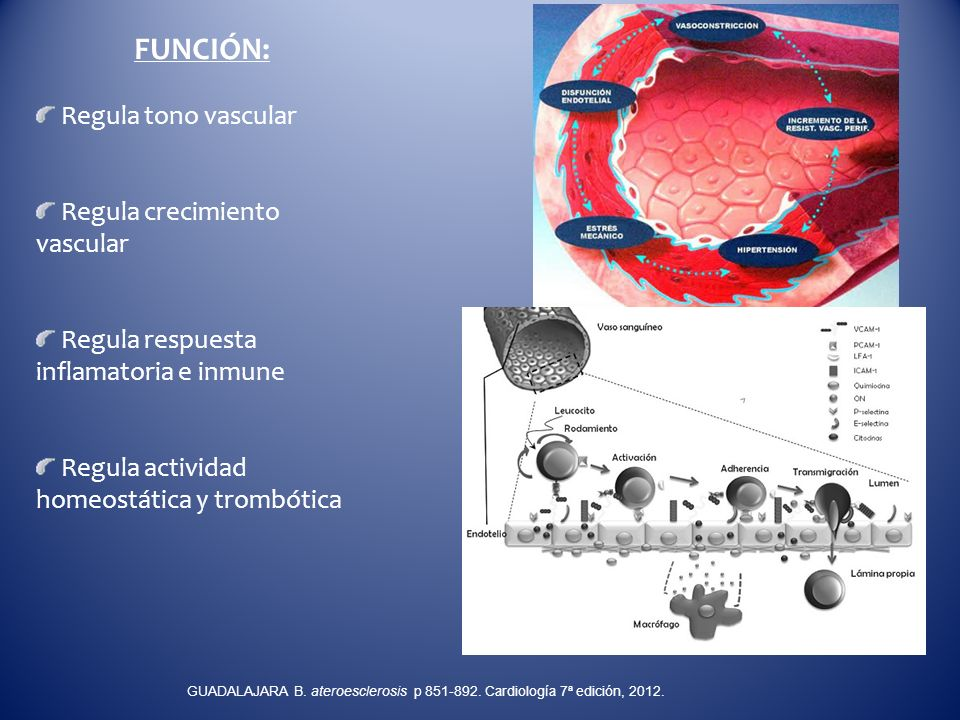 FUNCIÓN: Regula tono vascular Regula crecimiento vascular