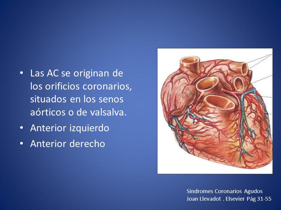 Las AC se originan de los orificios coronarios, situados en los senos aórticos o de valsalva.