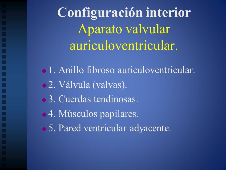 Configuración interior Aparato valvular auriculoventricular.