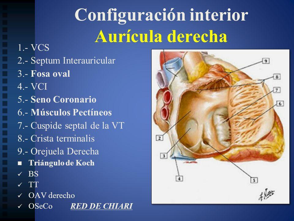 Configuración interior Aurícula derecha