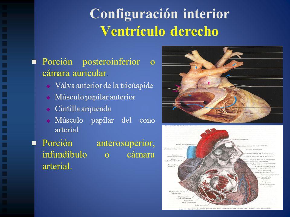Configuración interior Ventrículo derecho