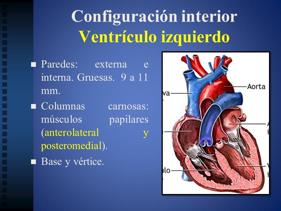 Configuración interior Ventrículo izquierdo