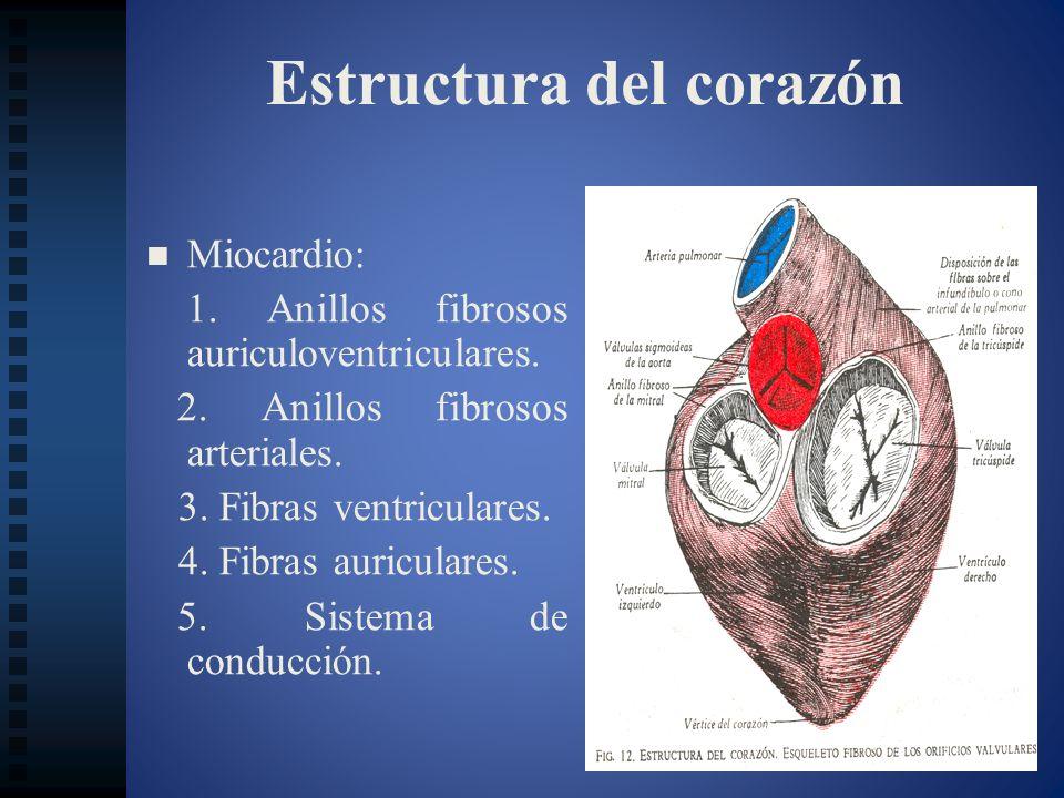 Estructura del corazón