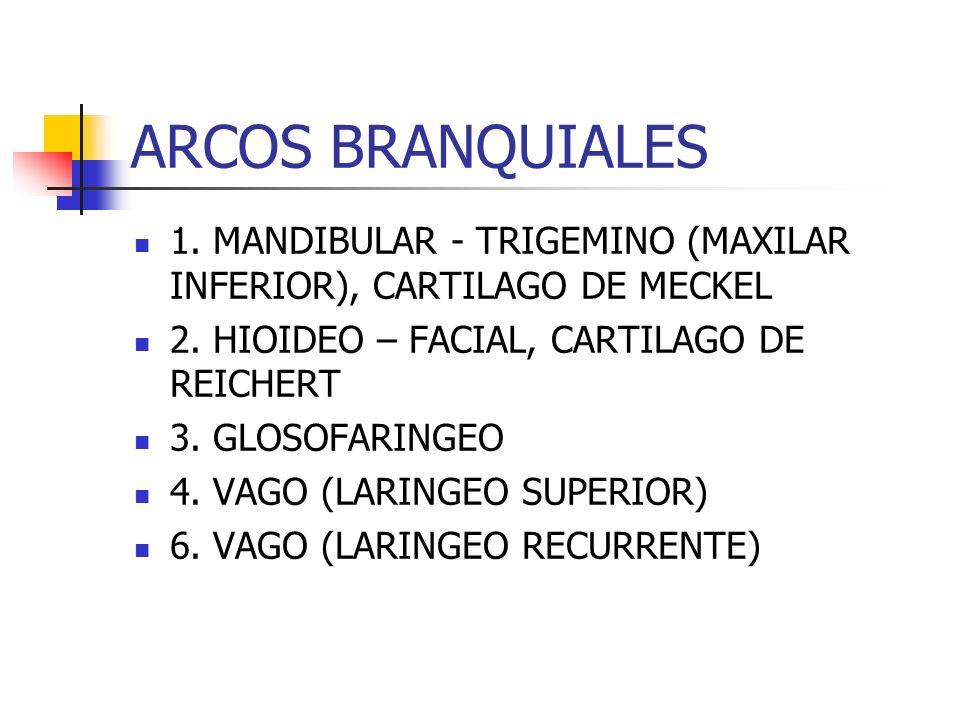 ARCOS BRANQUIALES1. MANDIBULAR - TRIGEMINO (MAXILAR INFERIOR), CARTILAGO DE MECKEL. 2. HIOIDEO – FACIAL, CARTILAGO DE REICHERT.
