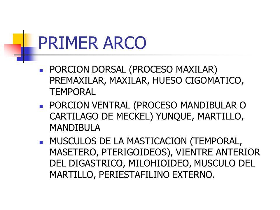 PRIMER ARCO PORCION DORSAL (PROCESO MAXILAR) PREMAXILAR, MAXILAR, HUESO CIGOMATICO, TEMPORAL.