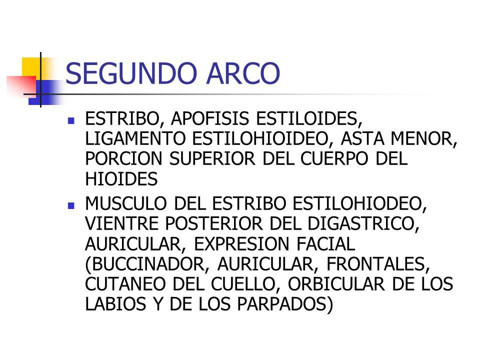SEGUNDO ARCOESTRIBO, APOFISIS ESTILOIDES, LIGAMENTO ESTILOHIOIDEO, ASTA MENOR, PORCION SUPERIOR DEL CUERPO DEL HIOIDES.