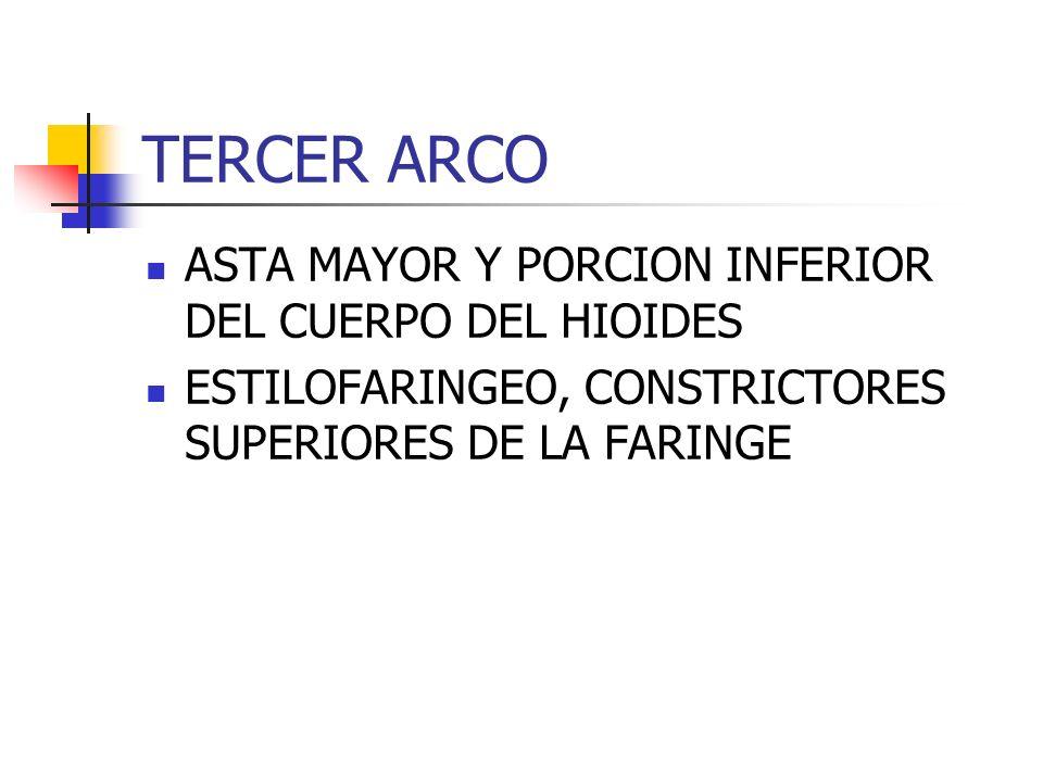 TERCER ARCO ASTA MAYOR Y PORCION INFERIOR DEL CUERPO DEL HIOIDES