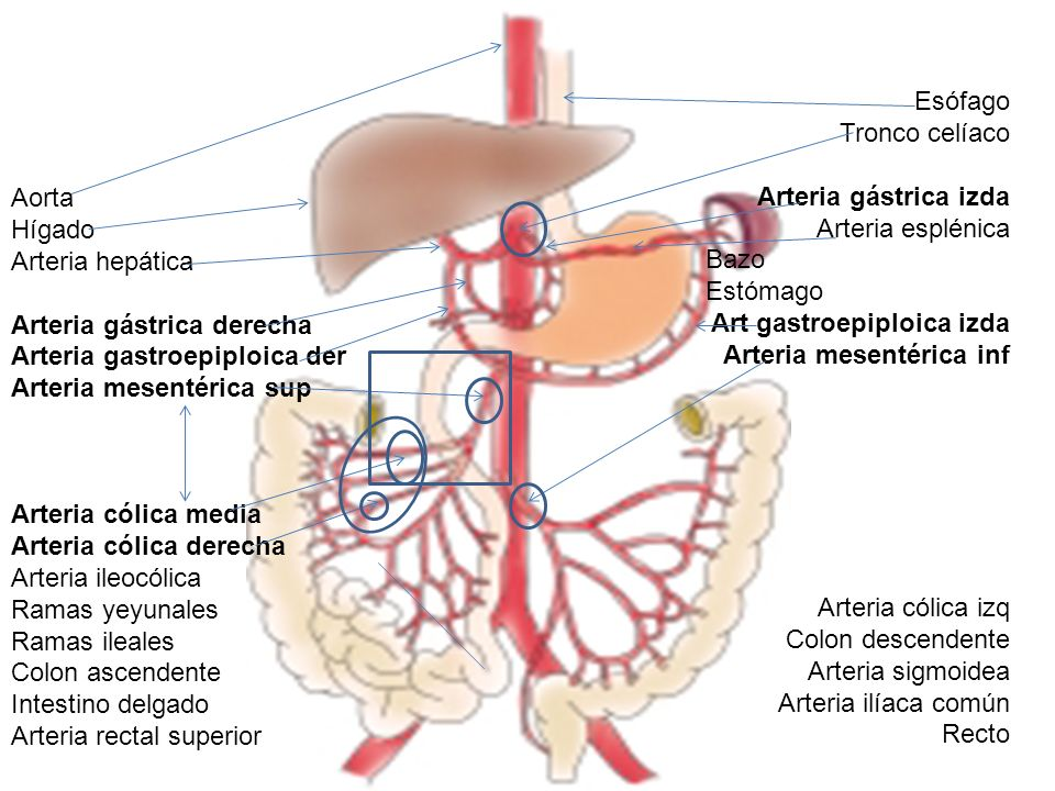 Esófago Tronco celíaco. Arteria gástrica izda. Arteria esplénica. Bazo. Estómago. Art gastroepiploica izda.