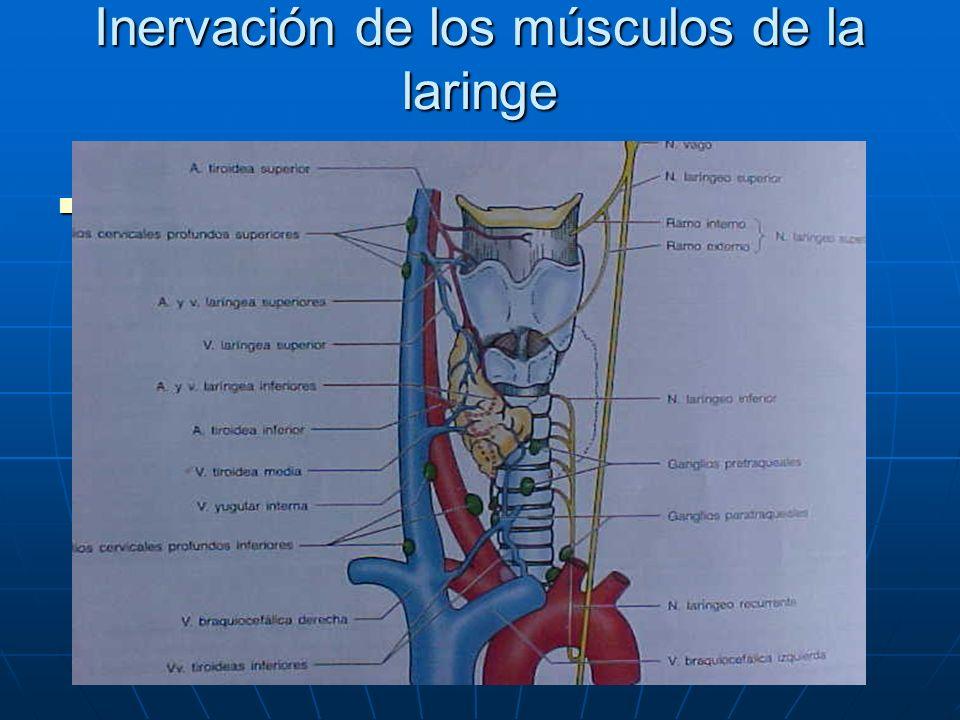 Inervación de los músculos de la laringe