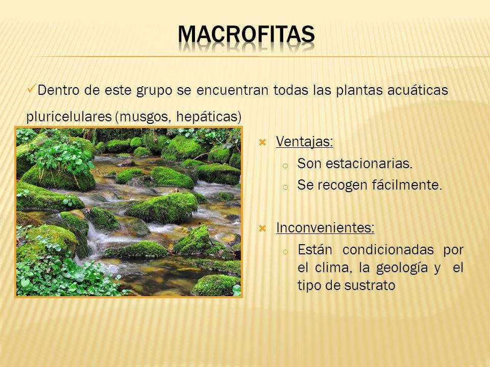 MACROFITAS Dentro de este grupo se encuentran todas las plantas acuáticas pluricelulares (musgos, hepáticas)