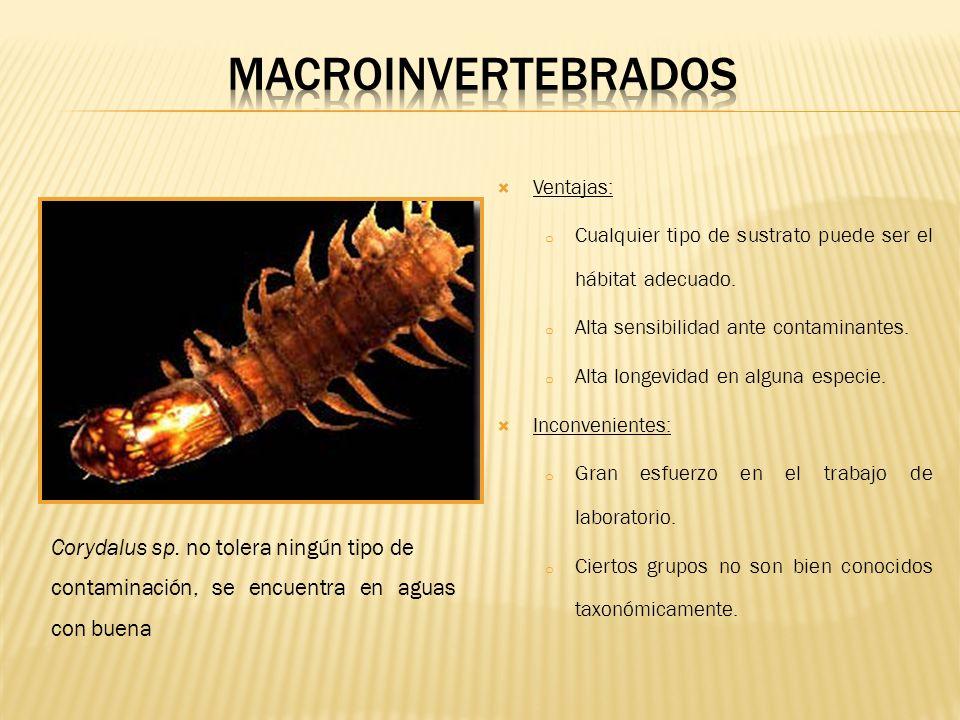 MACROINVERTEBRADOS Corydalus sp. no tolera ningún tipo de