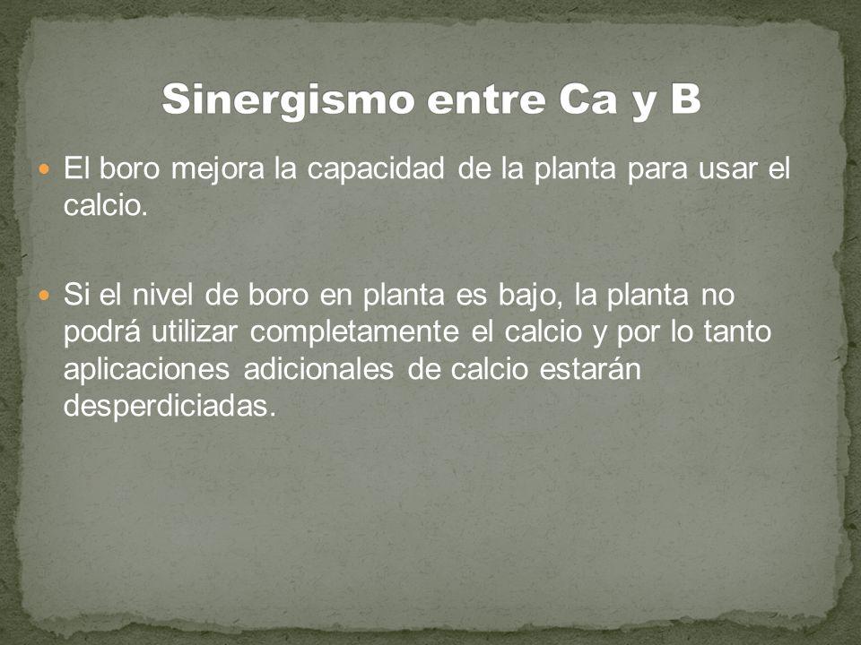Sinergismo entre Ca y B El boro mejora la capacidad de la planta para usar el calcio.