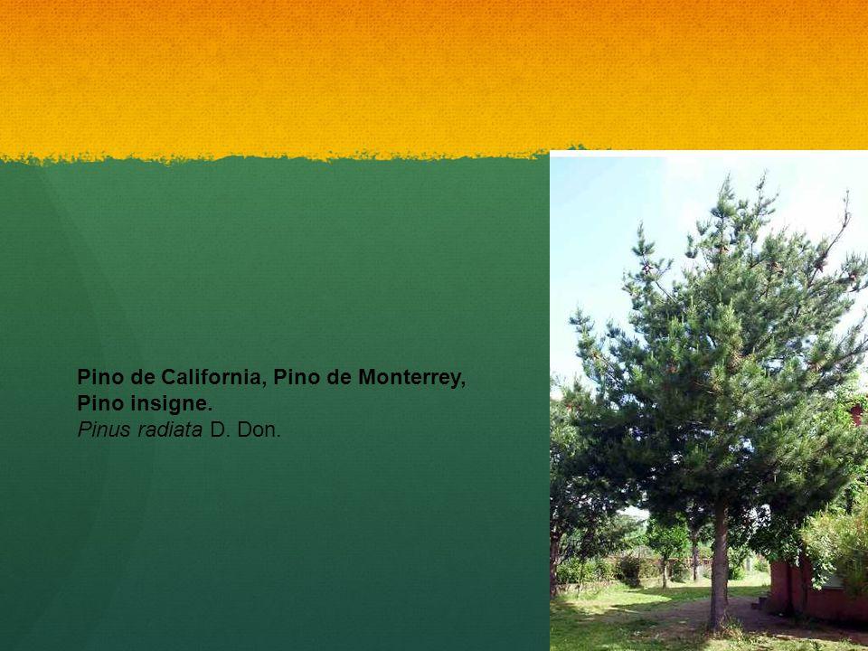 Pino de California, Pino de Monterrey, Pino insigne. Pinus radiata D
