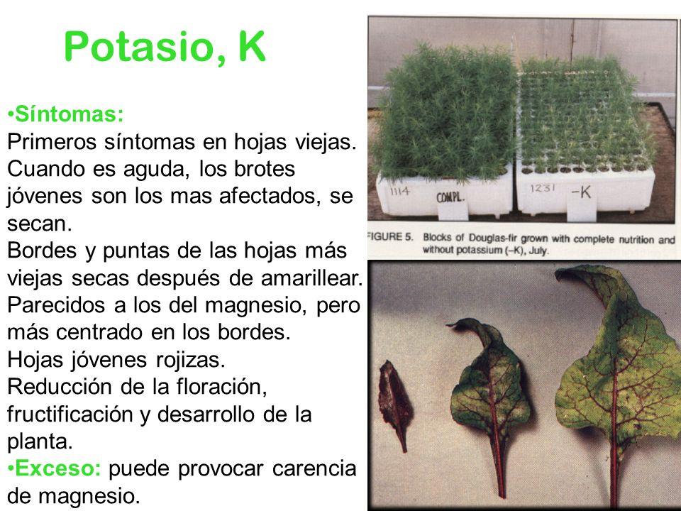 Potasio, KSíntomas: Primeros síntomas en hojas viejas. Cuando es aguda, los brotes jóvenes son los mas afectados, se secan.