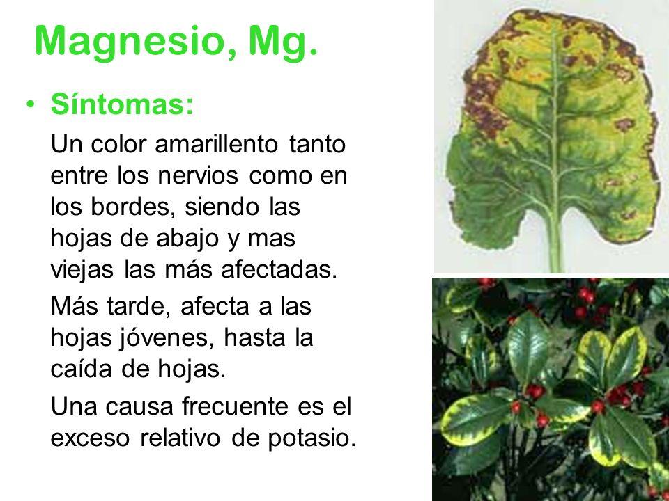 Magnesio, Mg.Síntomas: Un color amarillento tanto entre los nervios como en los bordes, siendo las hojas de abajo y mas viejas las más afectadas.