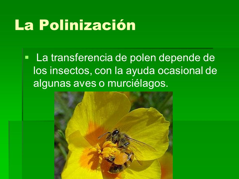 La Polinización La transferencia de polen depende de los insectos, con la ayuda ocasional de algunas aves o murciélagos.