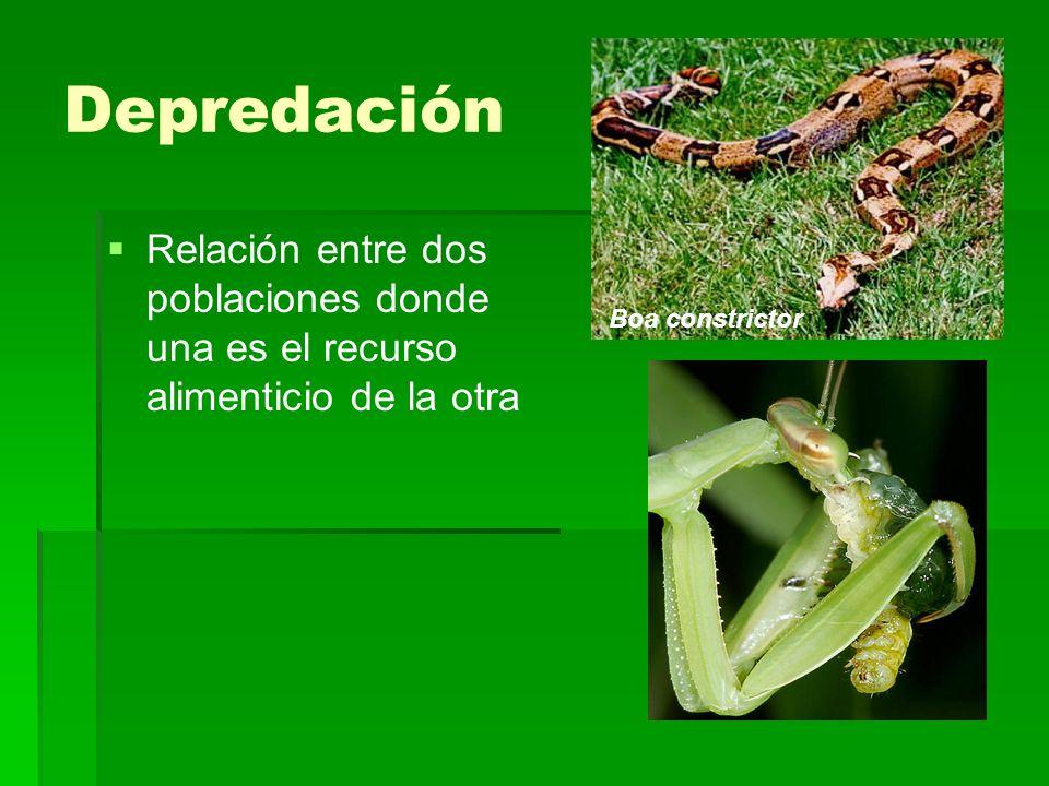 Depredación Boa constrictor.