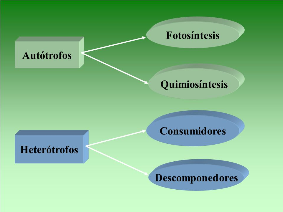 Fotosíntesis Autótrofos Quimiosíntesis Consumidores Heterótrofos Descomponedores