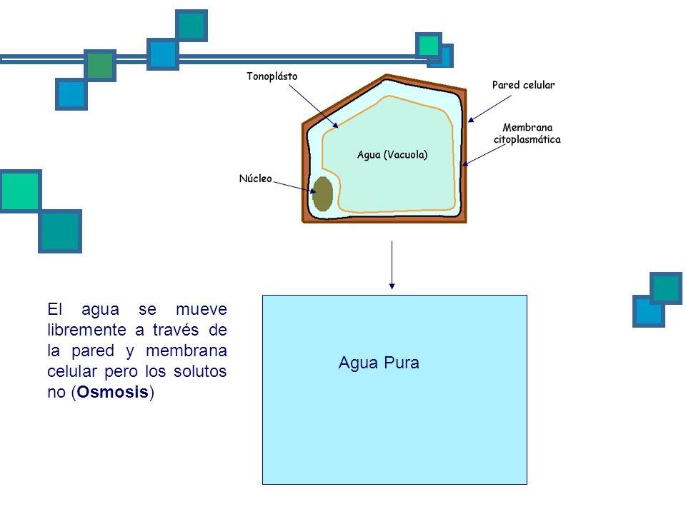 El agua se mueve libremente a través de la pared y membrana celular pero los solutos no (Osmosis)